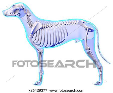Foto - perro, esqueleto, anatomía, -, anatomía, de, un, macho, perro ...
