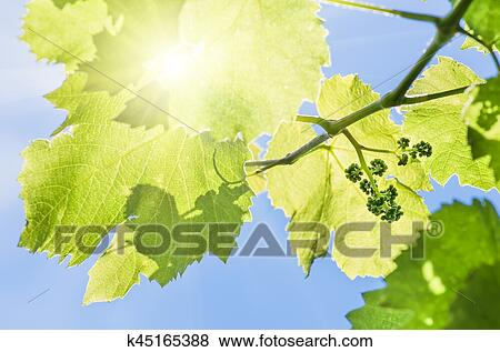 Pictures Of Flower Buds And Leaves Of Shoots Grapevine Spring