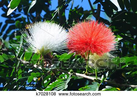 Pictures of persian silk tree albizia julibrissin k7028108 persian silk tree albizia julibrissin foliage and flowers mightylinksfo
