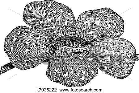 Rafflesia Stock Illustrations – 94 Rafflesia Stock Illustrations, Vectors &  Clipart - Dreamstime