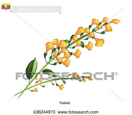 Clipart Of National Flower Of Myanmar Yellow Padauk Flowers