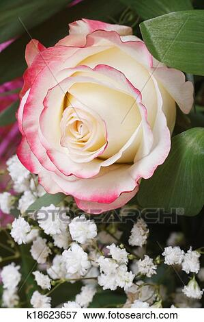 Picture of white rose with pink edges with babys breath flowers delicate white rose with pink edges of the petals with babys breath flowers closeup mightylinksfo