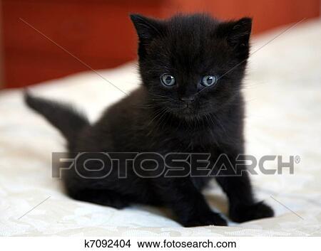 Schwarz, britisch, katzenbaby, mit, blaue augen Bild