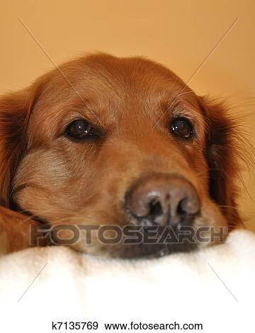Stock Photograph Of Golden Retriever Dog Face Side K7135769