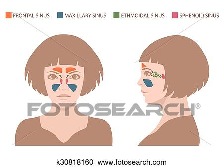 Clipart Of Sinus Anatomy Human Respiratory Sy K30818160 Search
