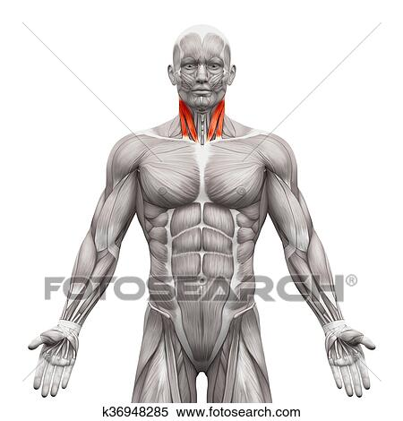 Buste du Condor WIP Photos Muscles-cou-sternal-t%C3%AAte-banque-dillustrations__k36948285
