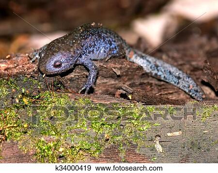 Rosa carino mexican ambystoma marrone mexicanum salamandra