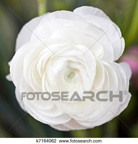 Stock photo of white ranunculus k7164062 search stock photography closeup of whole ranunculus flower ranunculus are popular spring wedding flowers mightylinksfo
