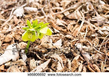Ellébore, fleur, dans, pays boisé, grand plan, nature, fond Banque d'Image | k66806692 | Fotosearch