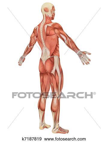 Colección de ilustraciones - macho, muscular, anatomía, angular ...