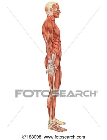 Stock Illustration of Male Muscular Anatomy Side View k7188098 ...