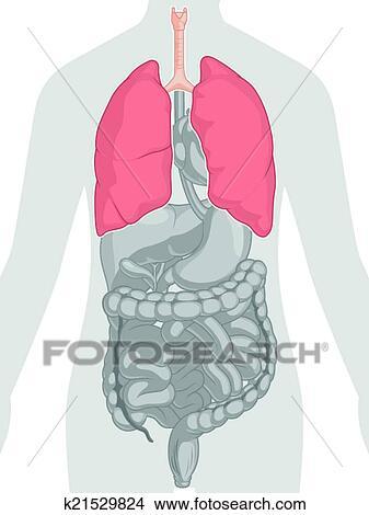 Clipart - cuerpo humano, anatomía, -, pulmones k21529824 - Buscar ...