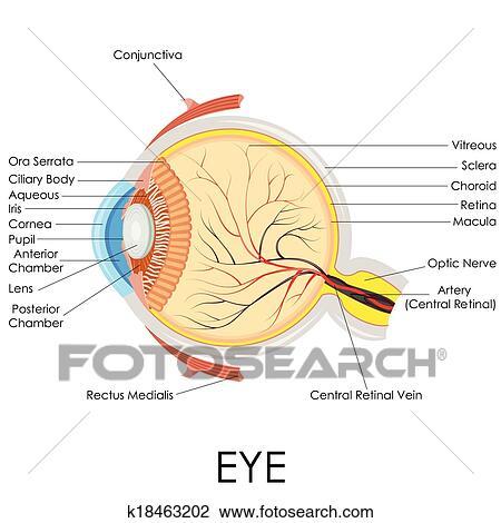 Clipart - ojo humano, anatomía k18463202 - Buscar Clip Art ...
