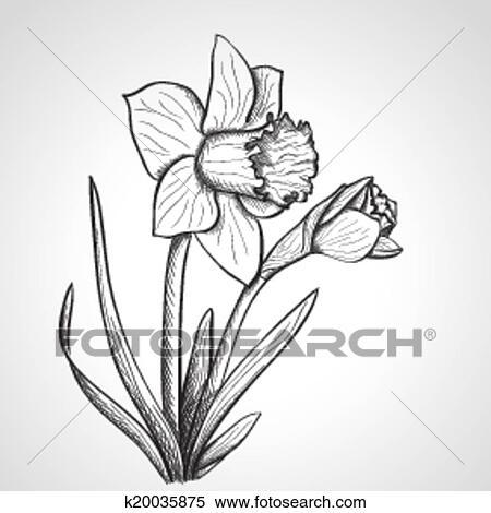 Clipart croquis jonquille fleur main dessin - Dessin jonquille fleur ...