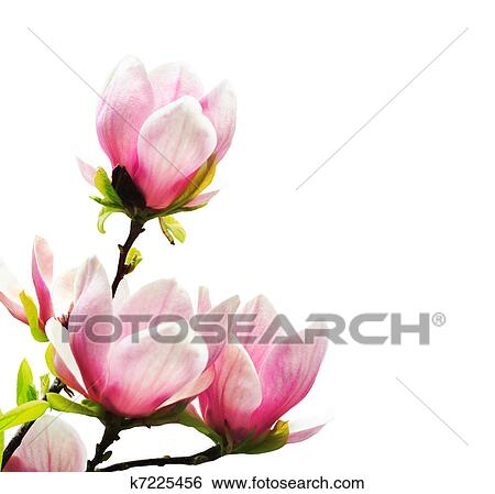 Archivio di immagini primavera albero magnolia fiori for Magnolia pianta prezzi