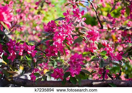 Fleurs rouges, de, arbres fruitiers, dans, les, printemps, jardin