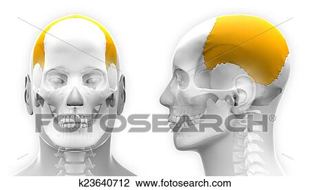 Clip Art of Male Parietal Bone Skull Anatomy - isolated on white ...