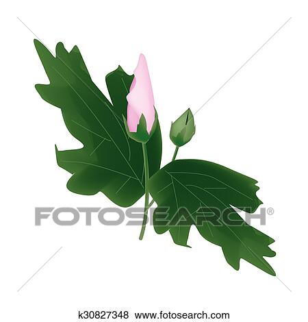 Clip Art - frisch, rosa, hawaii blume, knospe, weiß, hintergrund ...