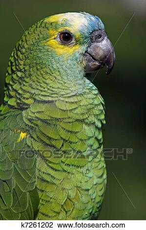 Blue Fronted Amazon Stock Image K7261202 Fotosearch