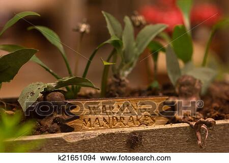 Mandrake Plants From Harry Potter Picture K21651094 Fotosearch