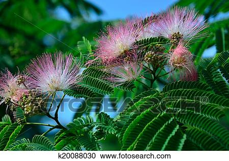 Stock Photography Of Pink Mimosa Flowers K20088030 Search Stock