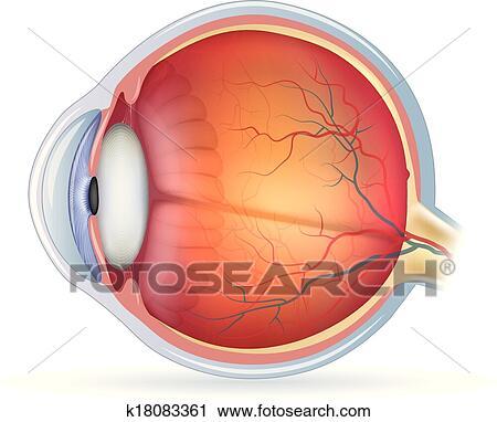 Clipart - detallado, ojo humano, anatómico, ilustración k18083361 ...