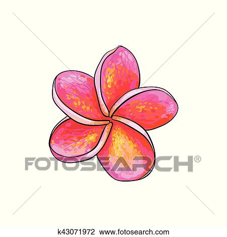 01bd4ea45 Single pink plumeria, frangipani tropical flower, sketch style vector  illustration isolated on white background. Colorful realistic hand drawing  of exotic, ...