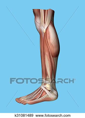 Stock Illustration of Anatomy side view of leg k31081489 - Search ...