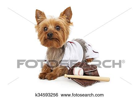 Stock Images Of Cute Yorkie Dog In Baseball Uniform K34593256