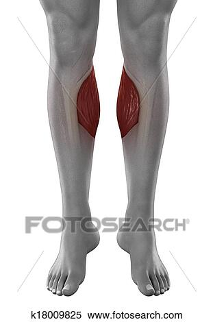 Stock Illustration of Gastrocnemius male muscles anatomy anterior ...