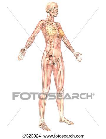女性 筋肉 解剖学 半 透明 斜め 正面図 イラスト K7323924