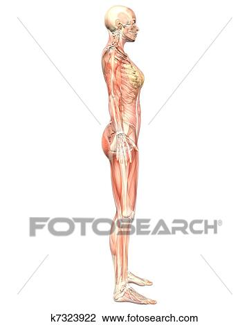 Clip Art Of Female Muscular Anatomy Semi Transparent Side View