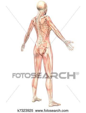 Stock Illustration Of Female Muscular Anatomy Semi Transparent