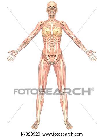 Stock Illustrations of Female Muscular Anatomy Semi Transparent ...