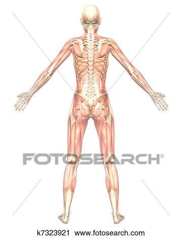 Clipart - hembra, muscular, anatomía, semi, transparente, vista ...