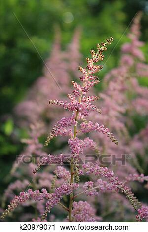 Stock photography of pink feathery flowers england k20979071 stock photography pink feathery flowers england fotosearch search stock photos mightylinksfo