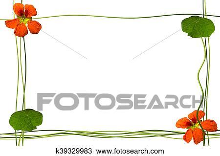 Capucine, fleurs, isolé, blanc, arrière-plan., été Dessin | k39329983 | Fotosearch