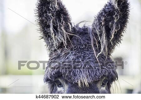 Stock Photo Of Bad Hair Day Poitou Donkey With Very Hairy Ears