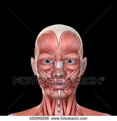 Stock Illustration of Female Face Muscles Anatomy k35340226 - Search ...