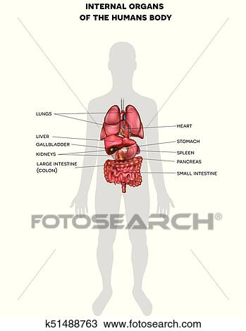 Clipart of Human internal organs anatomy k51488763 - Search Clip Art ...