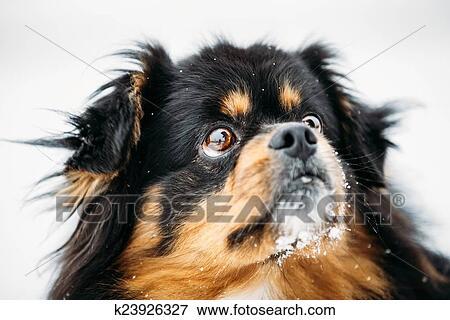 Schwarz Braun Farben Pekingese Pekinese Peke Hund Stock Foto