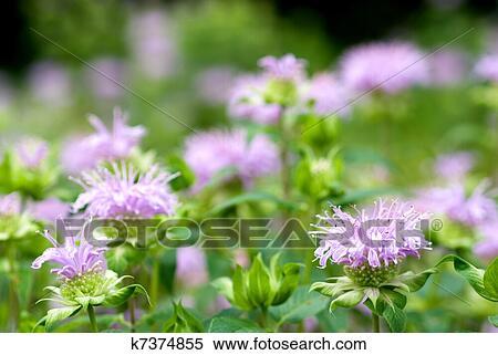 Bergamote Menthe Fleur Banques De Photographies K7374855 Fotosearch