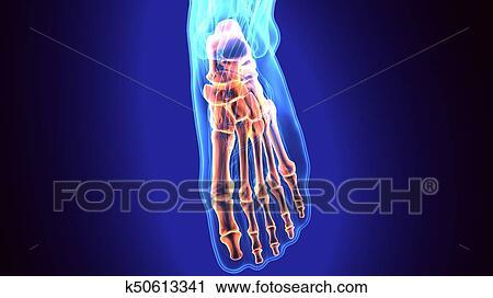 Anatomie Du Pied 3D banques de photographies - pied humain, anatomie, illustration