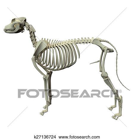 Dibujos - perro, esqueleto, anatomía, -, anatomía, de, un, macho ...
