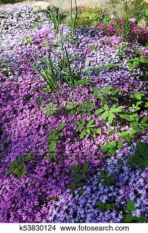 Flowers Of Creeping Phlox Picture K53830124 Fotosearch