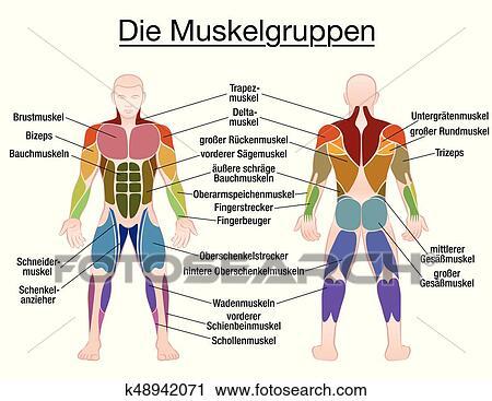 Clipart - músculo, diagrama, texto alemán, cuerpo masculino ...