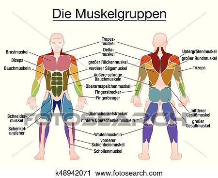 Clipart Of Muscle Diagram German Text Male Body K48942071 Search