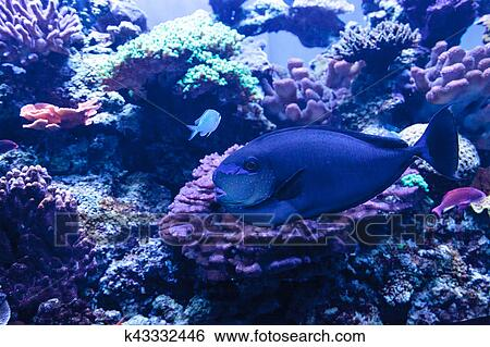 Bignose Unicornfish Bekannt Als Naso Vlamingii Stock Fotograf