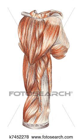 Stock Illustration - menschliche anatomie, -, muskeln, von, dass ...