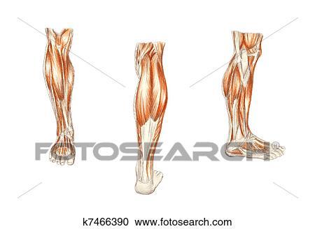 Stock Illustrationen - menschliche anatomie, -, muskeln, von, dass ...